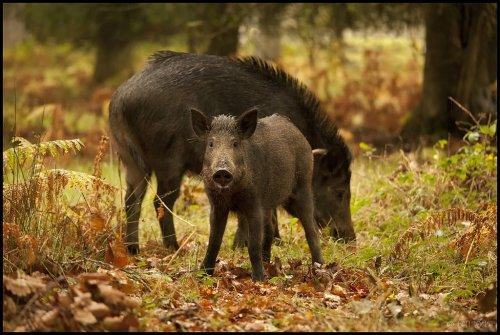 Свиной вопрос. Поможет ли уничтожение дикого кабана победить АЧС