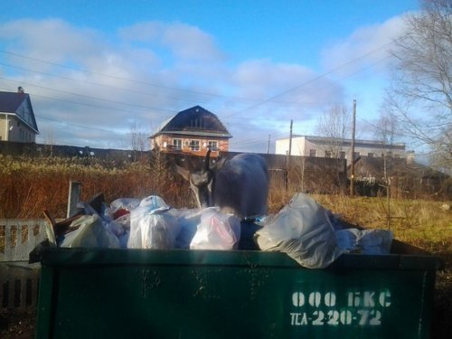 Паслась коза... на мусорном бункере